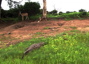 The croc is quietly waiting for the deer to walk into range.  It didn't happen while we were watching.