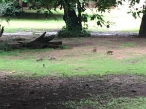 The Chobe Safari Lodge had mongoose and razorback families running around.