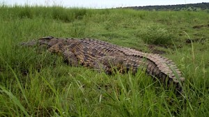 We end the day with this huge croc!